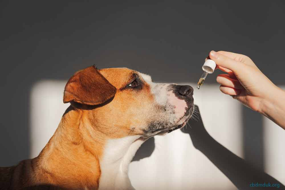 How Long Does CBD Oil Take to Work for Anxiety for Dogs